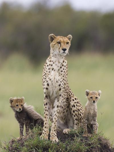 Cheetah (Acinonyx Jubatus) Mother and Eight to Nine Week Old Cubs, Maasai Mara Reserve, Kenya-Suzi Eszterhas/Minden Pictures-Photographic Print