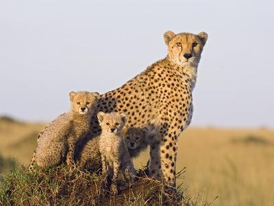 Cheetah (Acinonyx Jubatus) Mother and Eight Week Old Cubs, Maasai Mara Reserve, Kenya-Suzi Eszterhas/Minden Pictures-Photographic Print