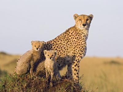 https://imgc.artprintimages.com/img/print/cheetah-acinonyx-jubatus-mother-and-eight-week-old-cubs-maasai-mara-reserve-kenya_u-l-peua1c0.jpg?p=0