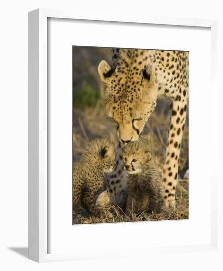 Cheetah (Acinonyx Jubatus) Mother Nuzzles Seven Day Old Cubs, Maasai Mara Reserve, Kenya-Suzi Eszterhas/Minden Pictures-Framed Photographic Print
