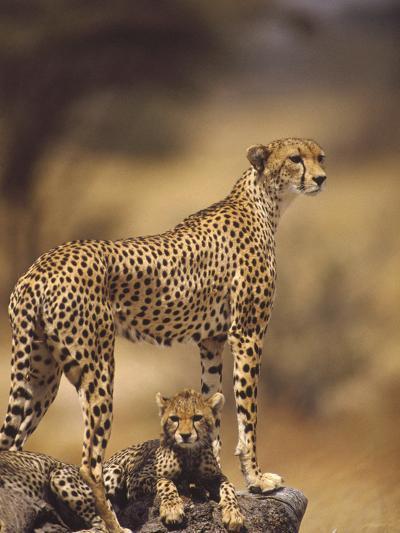 Cheetah (Acinonyx Jubatus) Mother With, Adolescents, Samburu National Reserve, Kenya-Gerry Ellis-Photographic Print