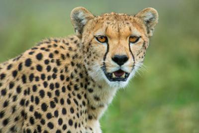 Cheetah (Acinonyx Jubatus), Ndutu, Ngorongoro Conservation Area, Tanzania