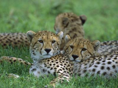 Cheetah (Acinonyx Jubatus) Older Cubs, Ngorongoro Conservation Area, Tanzania, East Africa-Suzi Eszterhas/Minden Pictures-Photographic Print