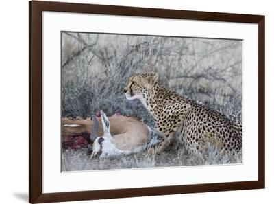 Cheetah (Acinonyx jubatus) on springbok kill, Kgalagadi Transfrontier Park, Northern Cape, South Af-Ann and Steve Toon-Framed Photographic Print