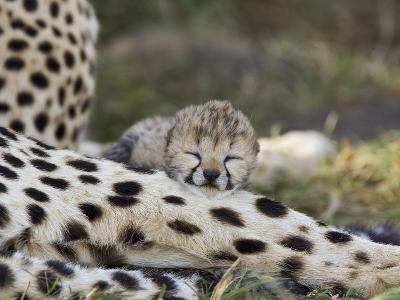Cheetah (Acinonyx Jubatus) Six Day Old Cubs Resting on Mother's Leg, Maasai Mara Reserve, Kenya-Suzi Eszterhas/Minden Pictures-Photographic Print