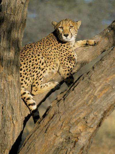 Cheetah (Acinonyx Jubatus) up a Tree in Captivity, Namibia, Africa-Steve & Ann Toon-Photographic Print