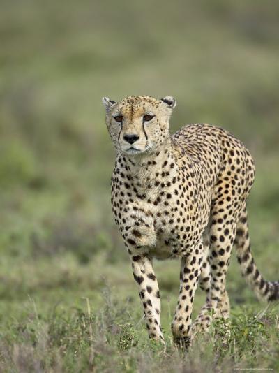Cheetah (Acinonyx Jubatus) Walking Towards Viewer, Serengeti National Park, Tanzania-James Hager-Photographic Print