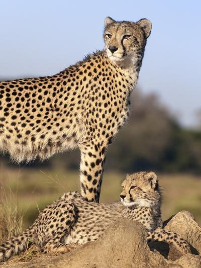 Cheetah (Acinonyx Jubatus) with Cub, Phinda Private Game Reserve, Kwazulu Natal, South Africa-Ann & Steve Toon-Photographic Print
