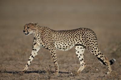 Cheetah (Acinonyx Jubatus)-James Hager-Photographic Print