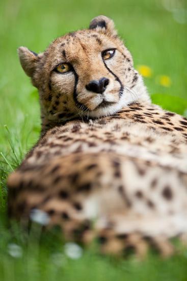 Cheetah (Acinonyx Jubatus)-l i g h t p o e t-Photographic Print