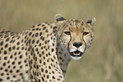 Cheetah Adult Female--Photographic Print