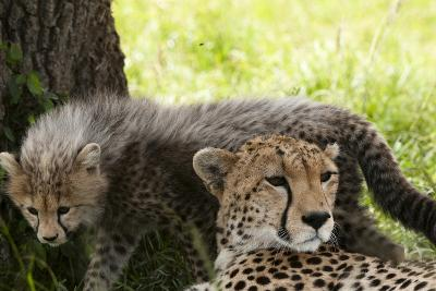 Cheetah and Cub, Masai Mara, Kenya-Sergio Pitamitz-Photographic Print