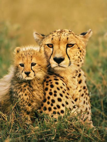 Cheetah and Cub, Masai Mara Reserve, Kenya-Frans Lanting-Photographic Print