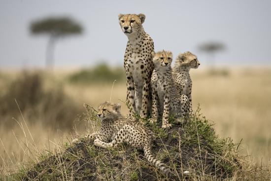 Cheetah and Cubs, Masai Mara Game Reserve, Kenya--Photographic Print