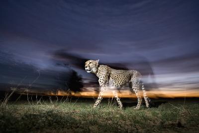 Cheetah at Dusk-Paul Souders-Photographic Print