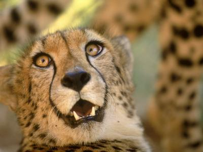 Cheetah, Cango Wildlife Ranch, Oudtshoorn, South Africa-Walter Bibikow-Photographic Print