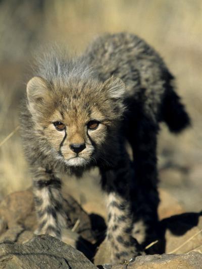 Cheetah Cub, Acinonyx Jubatus, Duesternbrook Private Game Reserve, Windhoek, Namibia, Africa-Thorsten Milse-Photographic Print