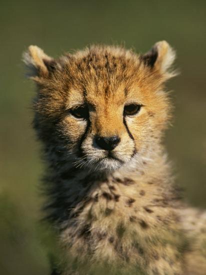 Cheetah Cub, Acinonyx Jubatus, Masai Mara Game Reserve, Kenya-Adam Jones-Photographic Print