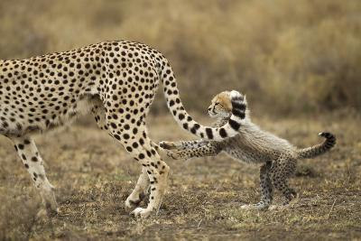Cheetah Cub and Mother-Paul Souders-Photographic Print