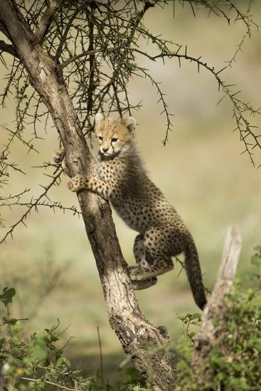 Cheetah Cub at Ngorongoro Conservation Area, Tanzania-Paul Souders-Photographic Print