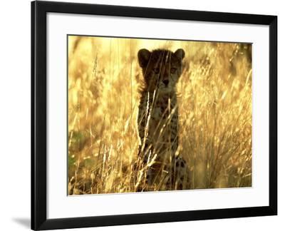 Cheetah, Cub, Namibia-David Tipling-Framed Photographic Print