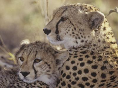 Cheetah Cub with its Mother, Acinonyx Jubatus, East Africa-Gerald & Buff Corsi-Photographic Print