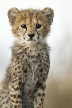 https://imgc.artprintimages.com/img/print/cheetah-cub_u-l-pzmp8t0.jpg?p=0