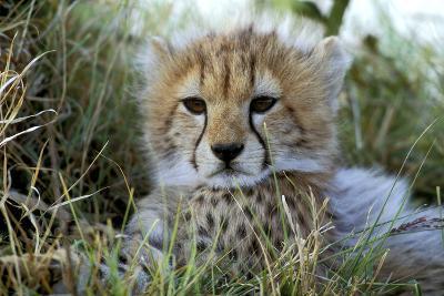 Cheetah Cub--Photographic Print