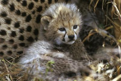 Cheetah Cub--Photographic Print