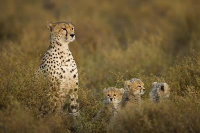 Cheetah Cubs and their Mother-Paul Souders-Photographic Print