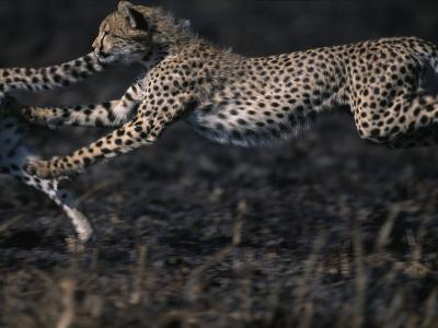 Cheetah Cubs at Play, Masai Mara Game Reserve, Kenya-Paul Souders-Photographic Print