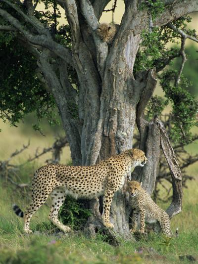 Cheetah Cubs Eight Months Old, Playing in Tree, Masai Mara National Reserve, Kenya, East Africa-Murray Louise-Photographic Print