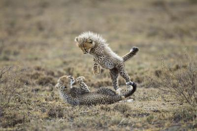 Cheetah Cubs Playing at Ngorongoro Conservation Area, Tanzania-Paul Souders-Photographic Print