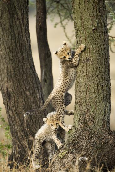 Cheetah Cubs Playing at Ngorongoro Conservation Area, Tanzania-Paul Souders-Photographic Print