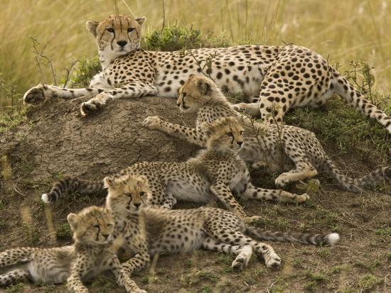 Cheetah Family: Mother and Cubs-Michael Polzia-Photographic Print