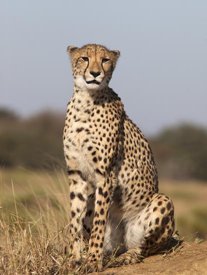 Cheetah Female (Acinonyx Jubatus), Phinda Private Game Reserve, Kwazulu Natal, South Africa, Africa-Ann & Steve Toon-Photographic Print