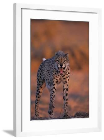 Cheetah Growling-DLILLC-Framed Photographic Print