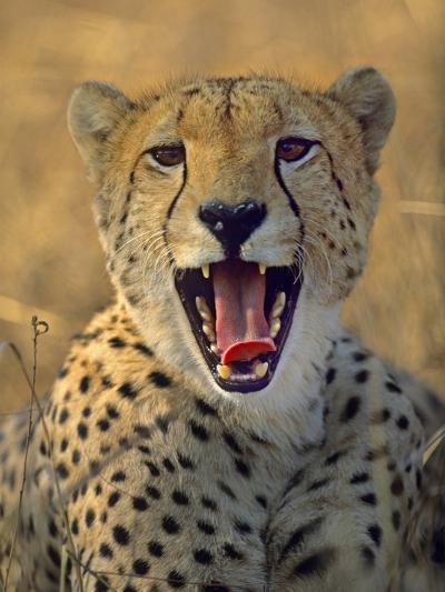 Cheetah, Kenya, Africa-Tim Fitzharris-Photographic Print