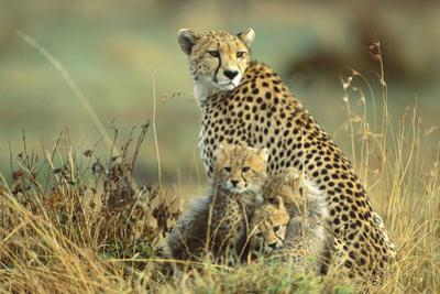 Cheetah Mother with Two or Three-Month Old Cubs