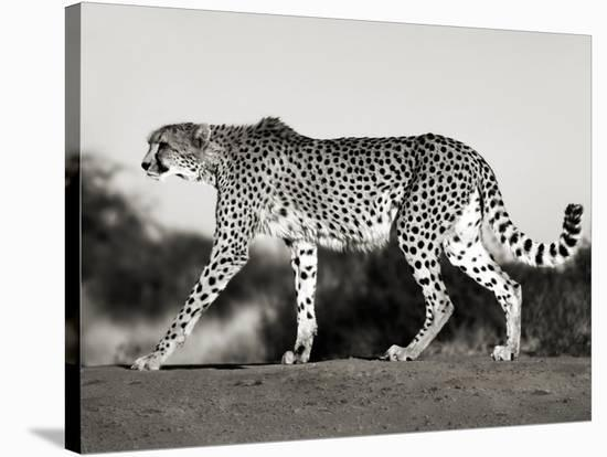 Cheetah, Namibia, Africa-Frank Krahmer-Stretched Canvas Print