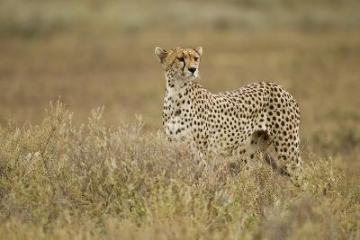 Cheetah, Ngorongoro Conservation Area, Tanzania-Paul Souders-Photographic Print
