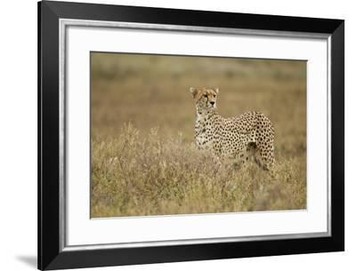 Cheetah, Ngorongoro Conservation Area, Tanzania-Paul Souders-Framed Photographic Print