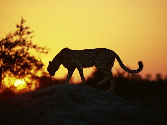 Cheetah, Okavango Delta, Botswana, Africa-Paul Allen-Photographic Print