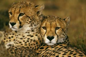 Cheetah Pair