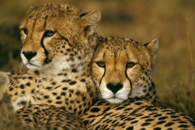Cheetah Pair--Photographic Print