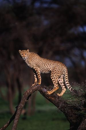 https://imgc.artprintimages.com/img/print/cheetah-perched-on-tree-limb_u-l-pzrqng0.jpg?p=0