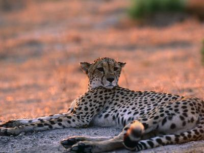Cheetah Resting, Okavango Delta, Botswana-Pete Oxford-Photographic Print
