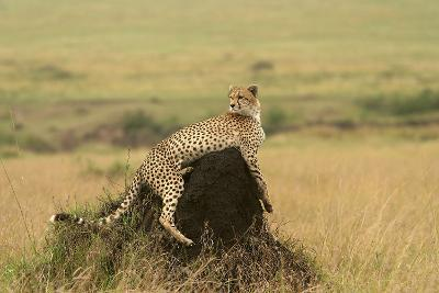 Cheetah Resting on Mound--Photographic Print