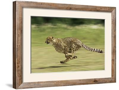 Cheetah Running--Framed Photographic Print