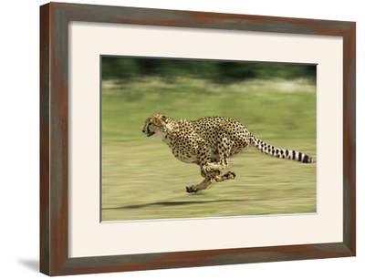Cheetah Running--Framed Photographic Print